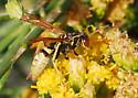 Wasp for ID - Polistes aurifer