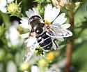 flower fly - Eristalis dimidiata