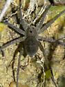 Large Gray/Black Spider in riparian environment - Dolomedes vittatus