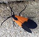 moth - Lycomorpha pholus