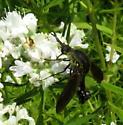 Gordon's find - Lepidophora