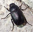 Dark Mojave scarab - Diplotaxis