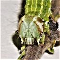 Toxonprucha psegmapteryx - Hodges#8676 - Toxonprucha psegmapteryx