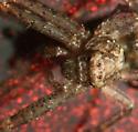 Spider on my car - Tmarus angulatus