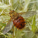 Tachinid Fly? - Adejeania vexatrix