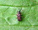 Which beetle, please? - Sumitrosis inaequalis