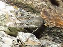 Noctuidae - Euxoa