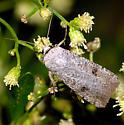 Moth ID - Anicla infecta