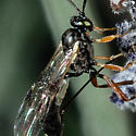 Friday's Little Black Wasp Detail - Campoplex - female