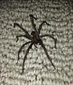 Hobo Spider or Giant House Spider? - Eratigena atrica