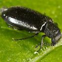 Unknown Beetle - Hoppingiana hudsonica