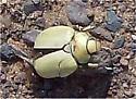 Goldsmith Beetle? - Cotalpa lanigera