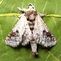 Givira theodori - Hodges # 2662 - Givira theodori