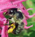 Small Bumblebee - Anthophora terminalis