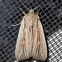 Wainscot Moth - Leucania commoides