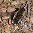Roxborough bee fly 2 - Villa