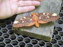 Please ID this moth. - Citheronia regalis