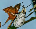 Myllocerus undecimpustulatus