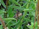 Melanoplus Grasshopper? - Melanoplus cinereus - female