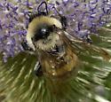 Yellow Bumble Bee - Bombus californicus - male