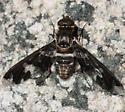 Exoprosopa dorcadion