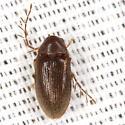 Toe-winged Beetle - Ptilodactyla - male