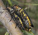 Bupestrid - Hippomelas sphenicus