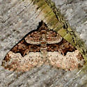 Toothed Brown Carpet - Xanthorhoe lacustrata