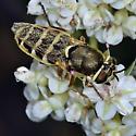 Soldier Fly - Odontomyia - female