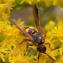 Scolia nobilitata on goldenrod sp. - Scolia nobilitata
