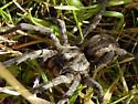 Carolina Wolf Spider - Hogna carolinensis - female