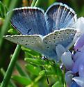 Greenish Blue (male)?