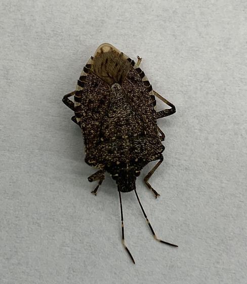 Brown Marmorated Stink Bug - Halyomorpha halys