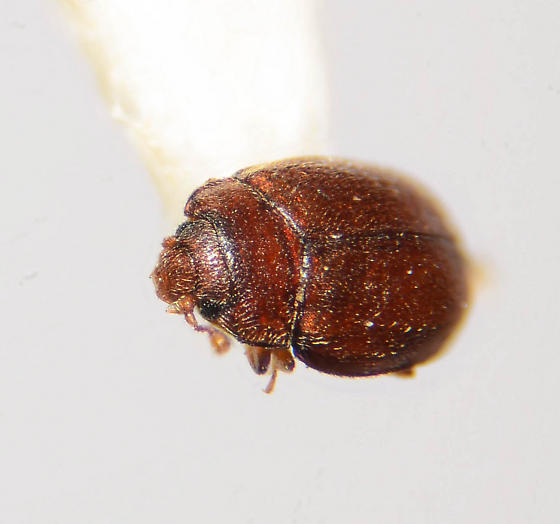 Minute Hister? - Mychocerinus depressus