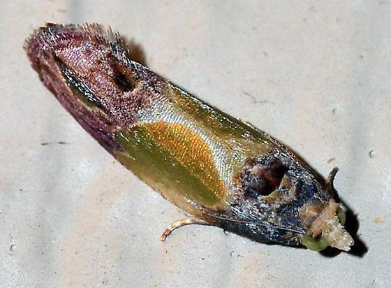 ? - Eumarozia malachitana