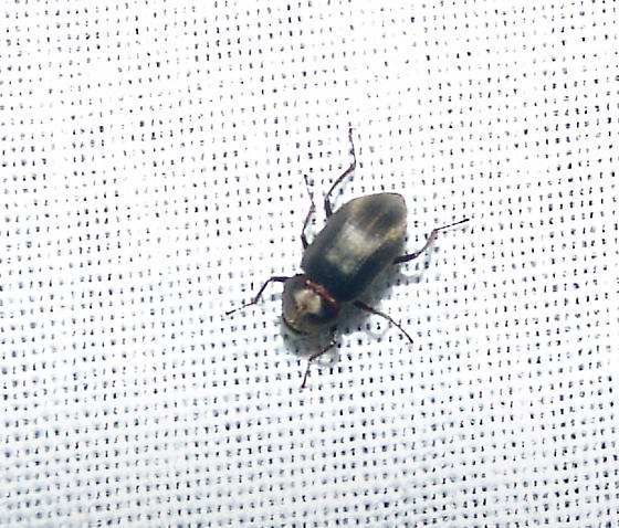 unknown beetle - Helichus lithophilus