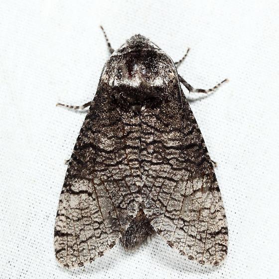 Little Carpenterworm Moth  - Prionoxystus macmurtrei