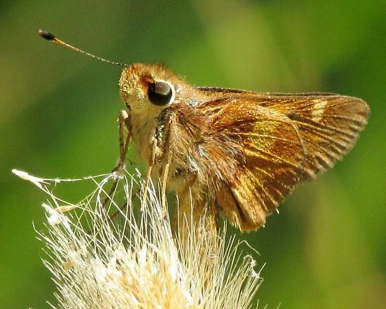 Umber Skipper Butterfly - Poanes melane