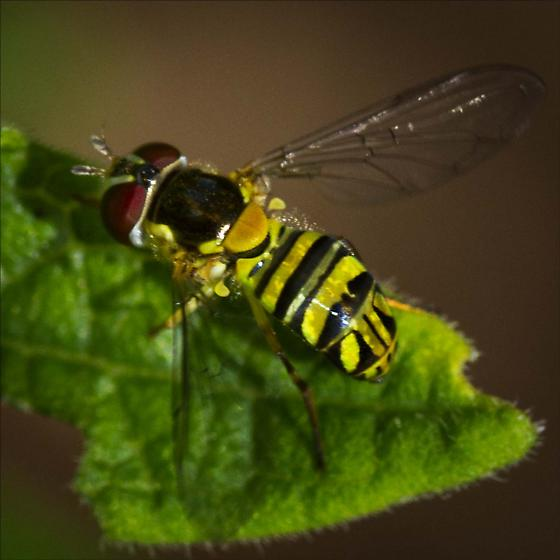 Syrphidae, Syrphid Fly, Allograpta obliqua ? - Allograpta obliqua - female