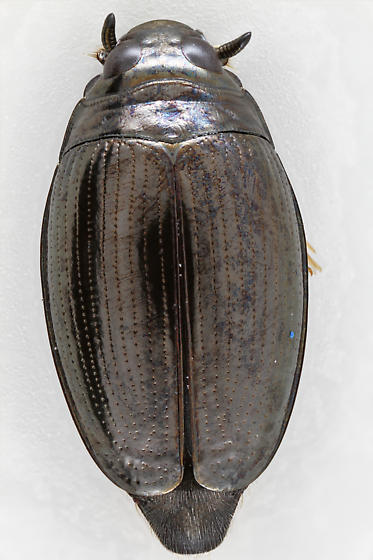 Whirligig Beetle - Gyrinus analis - male
