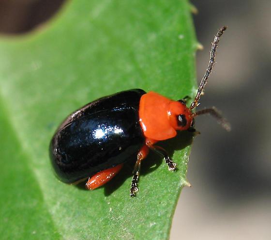 Black Orange bug - Asphaera lustrans