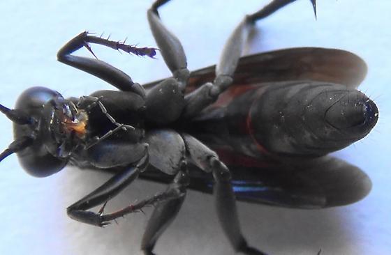 Spider Wasp Body Scan - Anoplius americanus - female