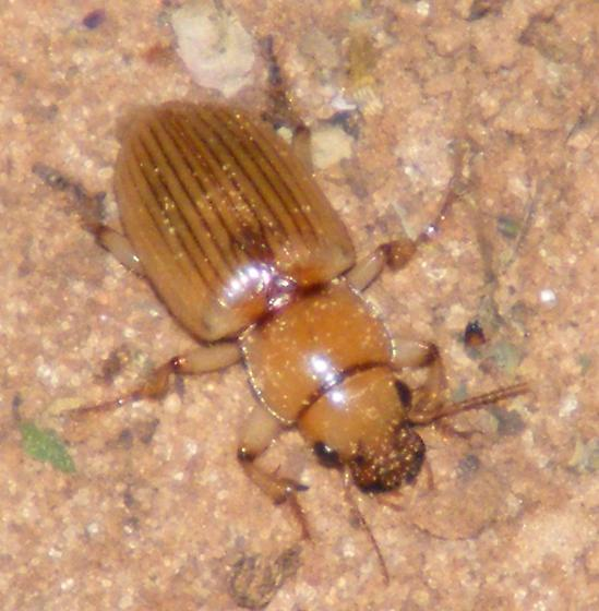 Interesting beetle. Can someone please ID - Geopinus incrassatus