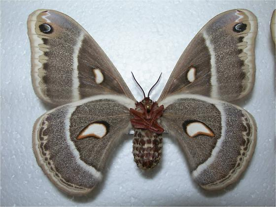 Hyalophora gloveri - Hyalophora columbia - female