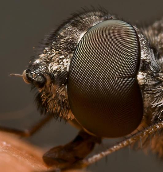 unknown fly - Anthrax cintalpa - female
