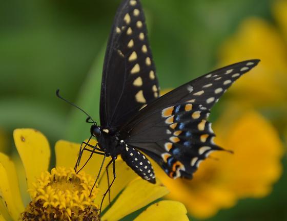black swallowtail? Charleston - Papilio polyxenes - male