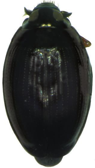 Gyrinus pachysomus