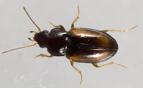 UID Coleoptera - Elaphropus