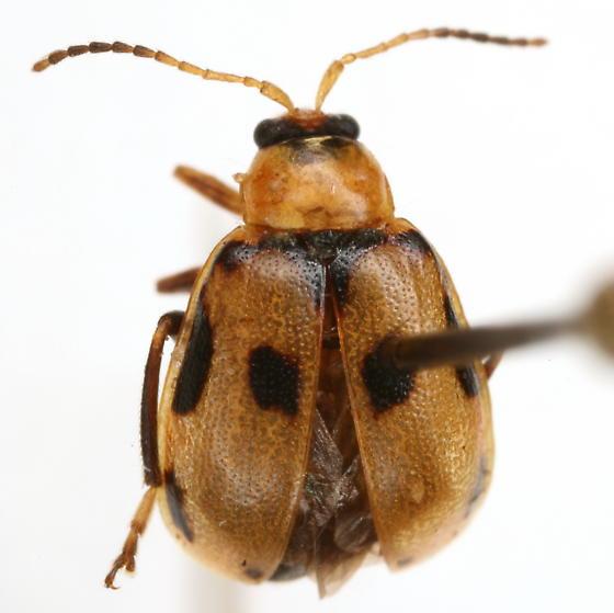 Cerotoma trifurcata (Forster) - Cerotoma trifurcata