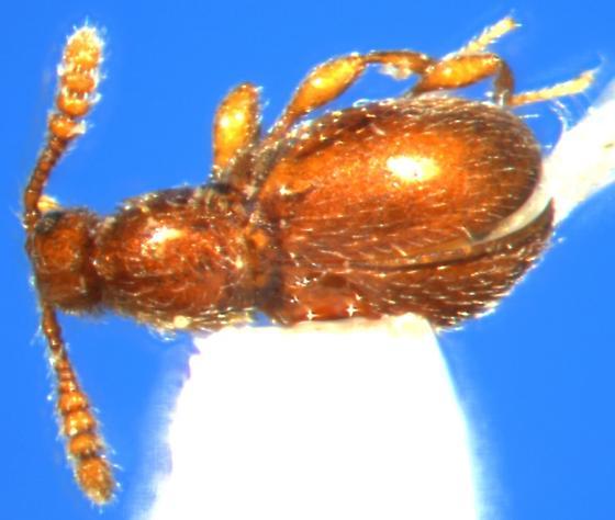 Coleoptera - Euconnus